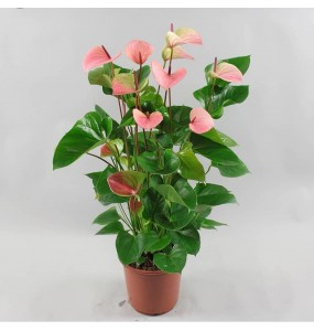 Anthurium Rosa Amour